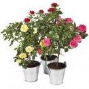 Доставка цветов.ру: подарок Роза в горшке